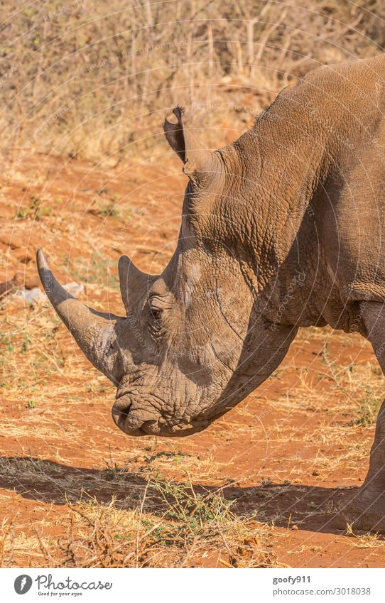rhinoceros Vacation & Travel Trip Adventure Far-off places Freedom Safari Expedition Head Face Ear Nature Earth Sand Animal Wild animal Animal face Scales Paw
