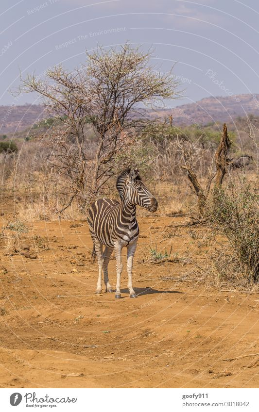 zebra Vacation & Travel Tourism Trip Adventure Far-off places Freedom Safari Expedition Environment Nature Landscape Sand Sunlight Warmth Drought Tree Bushes