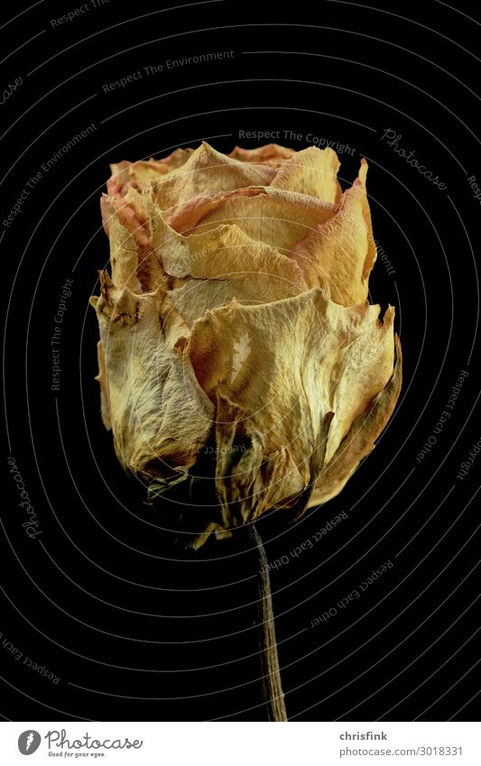 Rose dried Sign Old Blossoming Yellow Emotions Eroticism Compassion Sadness Concern Grief Death Limp Fragrance Love Colour photo Studio shot Deserted