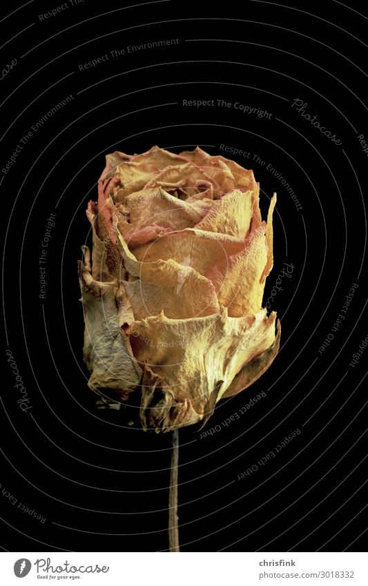 Rose dries up Plant Flower Fragrance Faded Eroticism Yellow Gold Emotions Moody Grief Death Lovesickness Limp Dried Colour photo Interior shot Studio shot