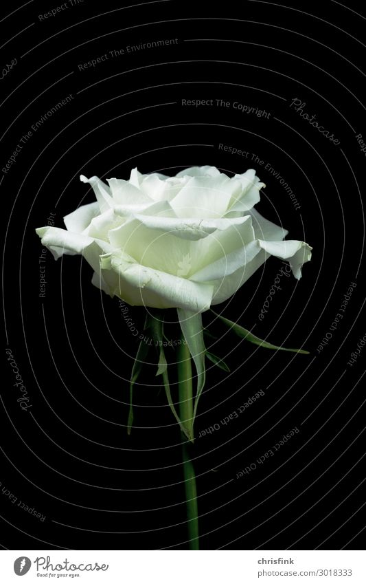 Nature Plant White Flower Blossom Death Grief Rose Infatuation