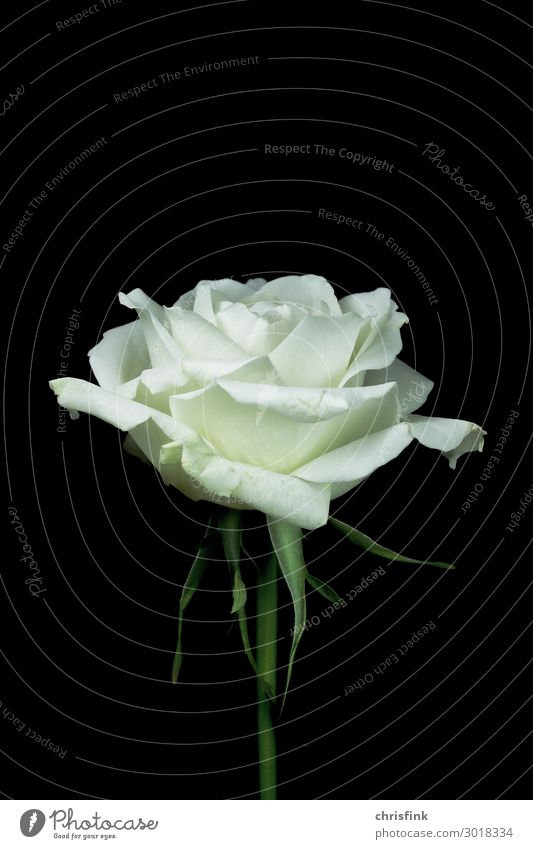 White rose on a black background Environment Nature Plant Flower Blossom Esthetic Beautiful Emotions Infatuation Romance Eroticism To console Grateful Death