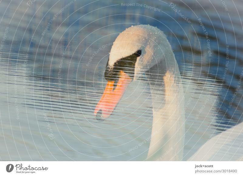 dive & dip Water Pond Franconia Wild animal Swan Animal face Feather Beak 1 Observe Esthetic Fluid Near Wet Warmth Soft Emotions Serene Elegant Ease Senses