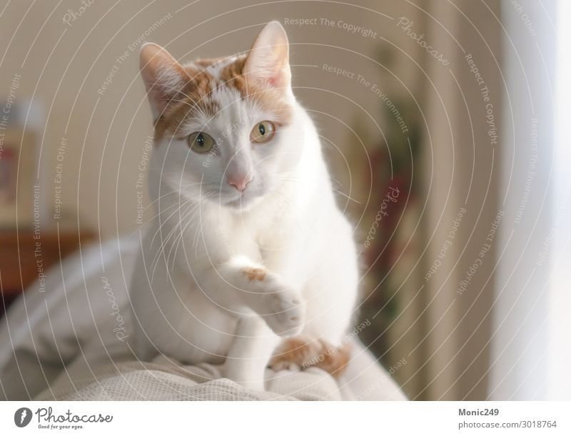 Adorable white cat with brown spots climbed on a couch Cat Beautiful House (Residential Structure) Animal Face Funny Small Gray Elegant Blonde Baby Cute New