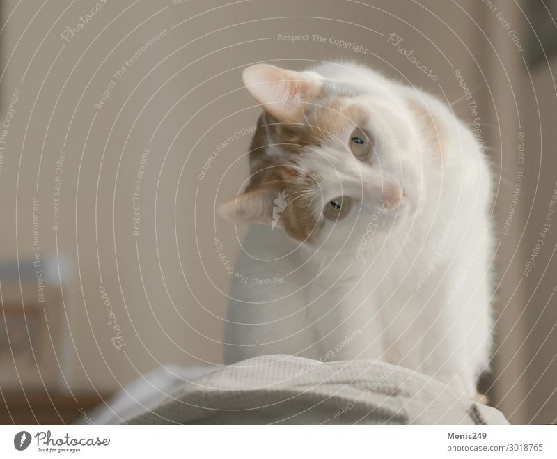 Adorable white cat with brown spots climbed on a couch Cat Beautiful Animal Face Funny Small Gray Elegant Blonde Baby Cute Cool (slang) New Beauty Photography