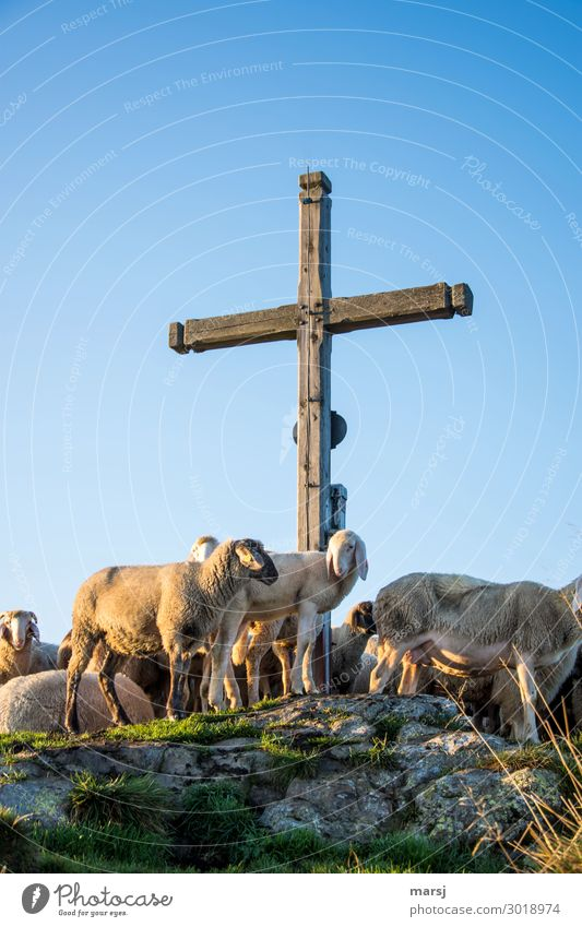 Nature Animal Religion and faith Exceptional Together Stand Group of animals Peak Curiosity Hope Easter Symbols and metaphors Belief Pet Crucifix Sheep