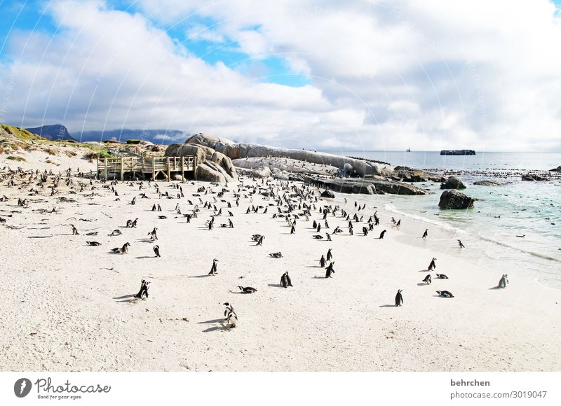 a sea of penguins Contrast Light Day Exterior shot Colour photo Wanderlust Wild South Africa Fantastic Exceptional Ocean Beach Coast Waves Sky Landscape Freedom