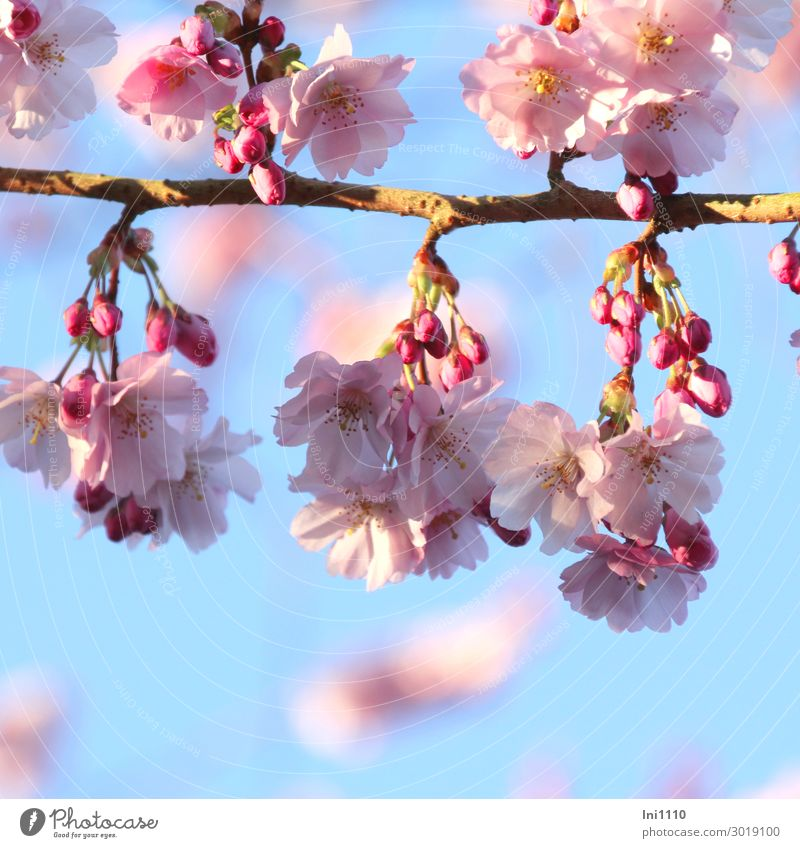 Sky Plant Blue White Tree Yellow Blossom Spring Garden Gray Pink Park Beautiful weather Bud Blue sky Twigs and branches