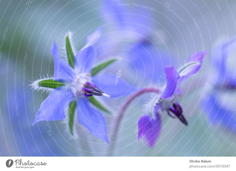 Blue flower of borage Herbs and spices Elegant Alternative medicine Healthy Eating Wellness Harmonious Contentment Calm Meditation Spa Wallpaper Valentine's Day