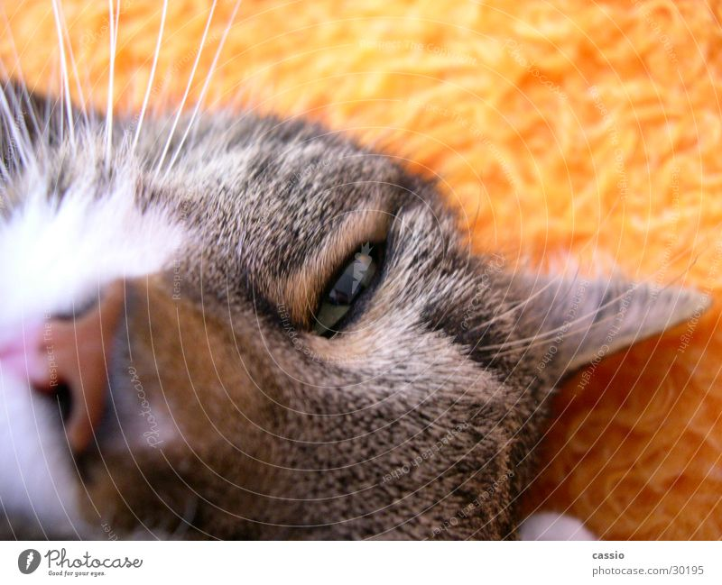Cat Animal Living thing Blanket Pet Domestic cat Whisker