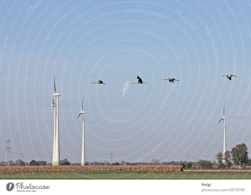 Landscape shot with wind turbines between fields and four flying cranes in front of a blue sky Energy industry Renewable energy Wind energy plant Environment