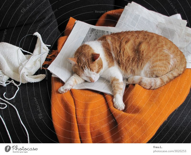 nodded Living or residing Flat (apartment) Sofa Newspaper Magazine Animal Pet Cat 1 Sleep Dream Beautiful Cuddly Cute Orange Black White Contentment