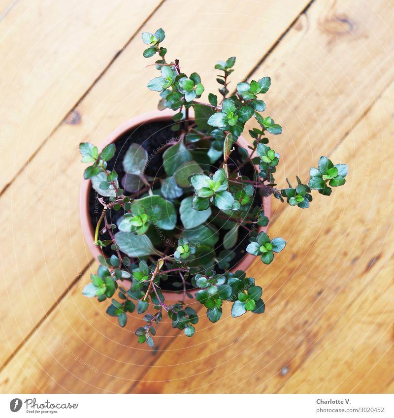 BirdPerspective Plant Foliage plant Pot plant Esthetic Authentic Simple Elegant Fresh Natural Brown Green Leaf Succulent plants Wooden floor Individual 1
