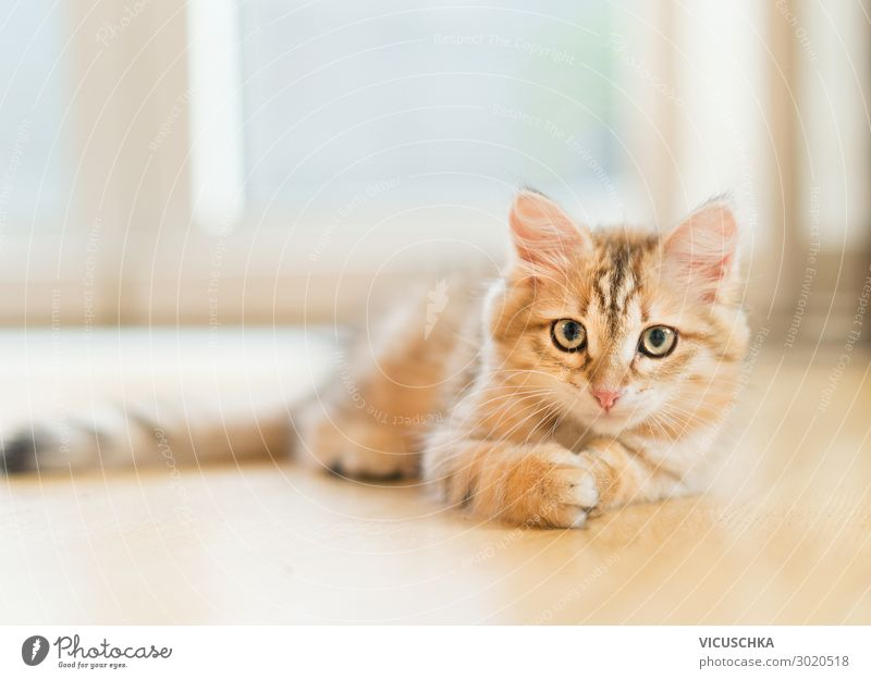 Young fluffy sweet red kitten lying on the floor at window background. Purebred Siberian cat. Cat looking at camera young purebred siberian cat lazy relax