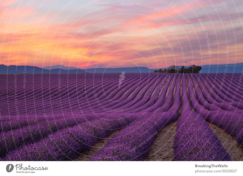 Purple lavender field in Provence Nature Landscape Plant Sky Clouds Summer Flower Agricultural crop Field Beautiful Lavender Lavender field Agriculture Seasons