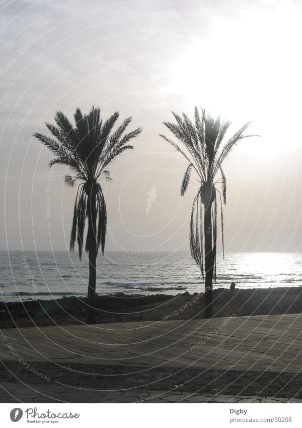 palm duo Palm tree Couple Light Ocean Twilight Sunset Europe Tenerife In pairs