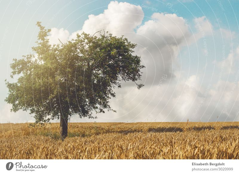 lonely tree Calm Summer Sun Environment Nature Landscape Plant Sky Clouds Sunlight Weather Beautiful weather Tree Leaf Foliage plant Field Germany Deserted