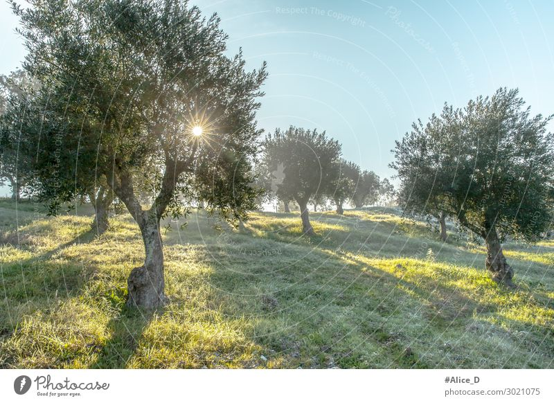 Foggy olive grove in morning dew and hazy sunlight Landscape Beverage Winter Nature Sustainability aged agrarian agricultural agriculture branch countryside