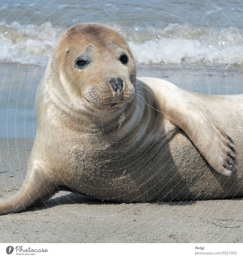Close-up of a seal on the beach on the dune of Helgoland Environment Nature Animal Sand Water Summer Beautiful weather Coast Beach North Sea Island Wild animal