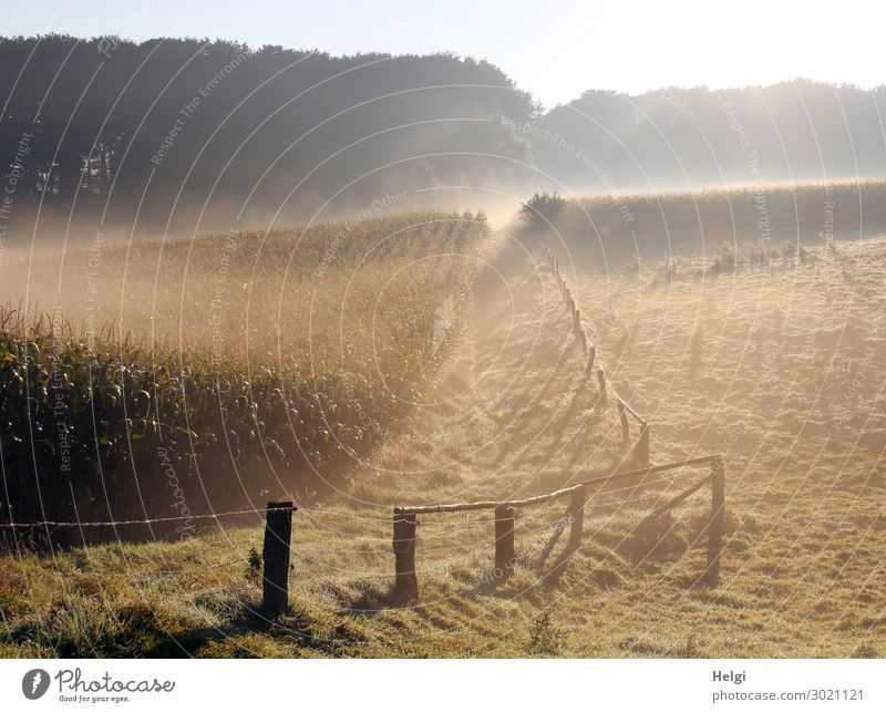 Foggy landscape with cornfield, meadow, fence and forest and sunlight Environment Nature Landscape Plant Summer Tree Grass Agricultural crop Maize Maize field