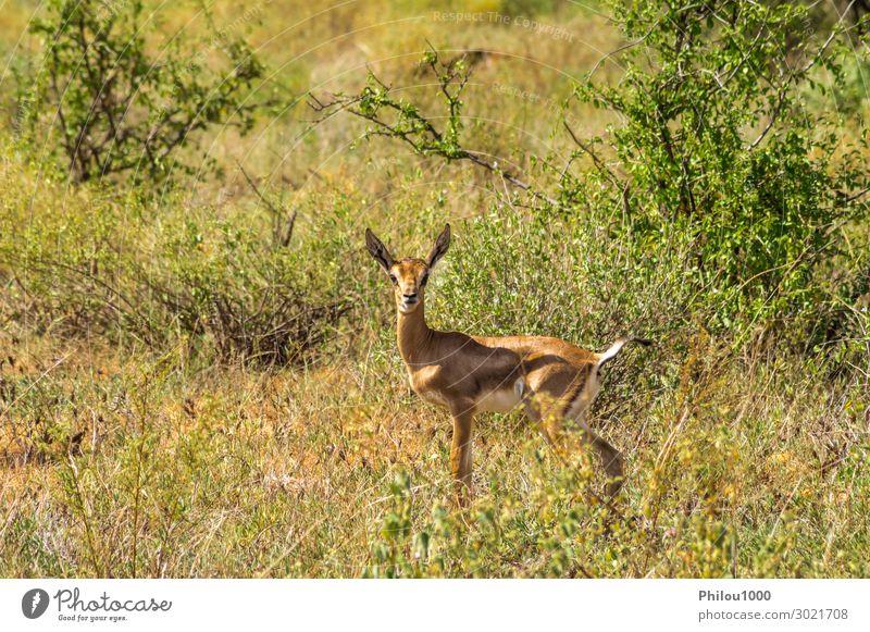 Female impala with young impalas, Samburu Game Safari Woman Adults Animal Curiosity Cute Africa Kenya aepyceros afrika Antelope antilope antilopesoorten