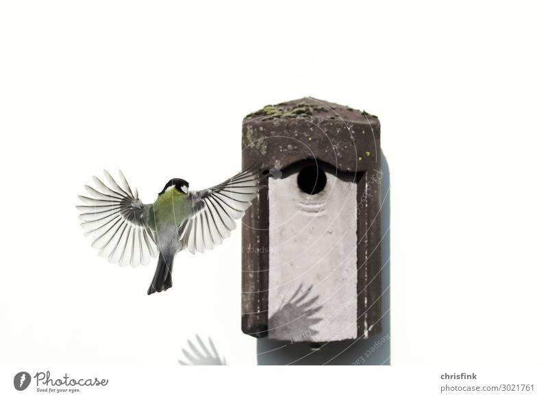 Great tit on approach to nesting box House (Residential Structure) Arrange Parenting Parents Adults Family & Relations Spring Deserted Animal Bird Wing 1 Stone