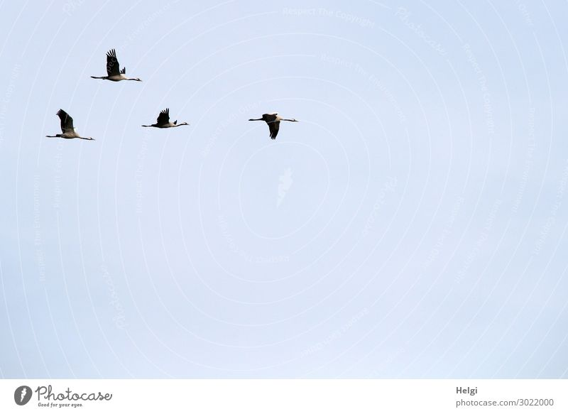 four cranes flying in formation in front of a light blue sky Environment Nature Animal Cloudless sky Autumn Beautiful weather Wild animal Bird Crane 4