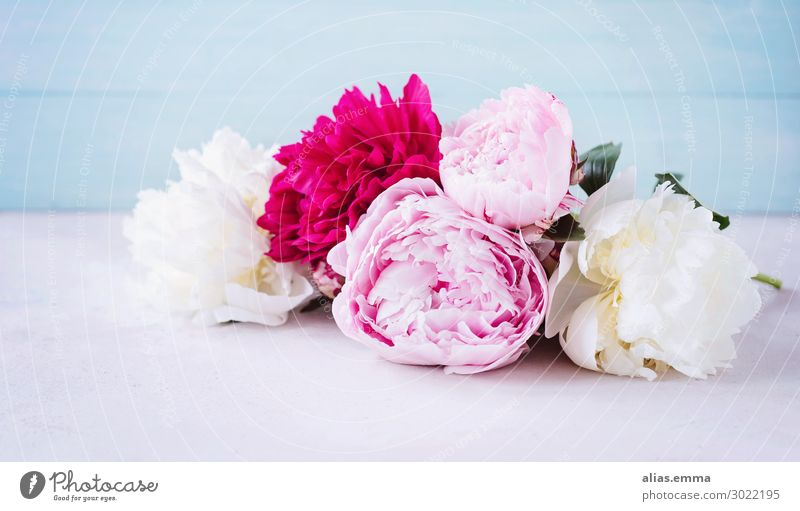 Peonies in pink, pink and white against a blue background Peony Spring Bouquet Vintage Flower Floristry Blossoming White Pink Fragrance Decoration