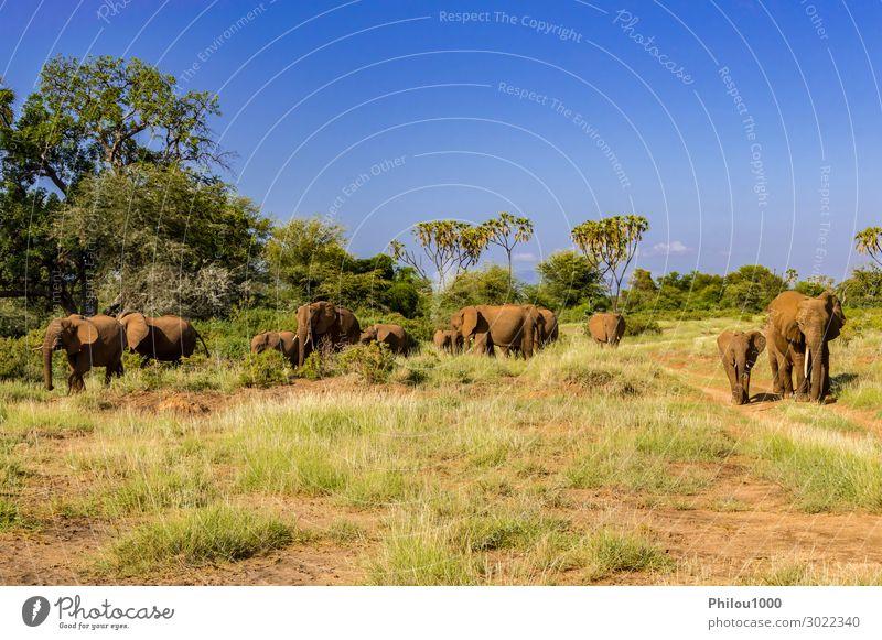 Herd elephants in the savannah Playing Vacation & Travel Tourism Safari Baby Family & Relations Nature Landscape Animal Park Wild Africa Kenya Samburu addo