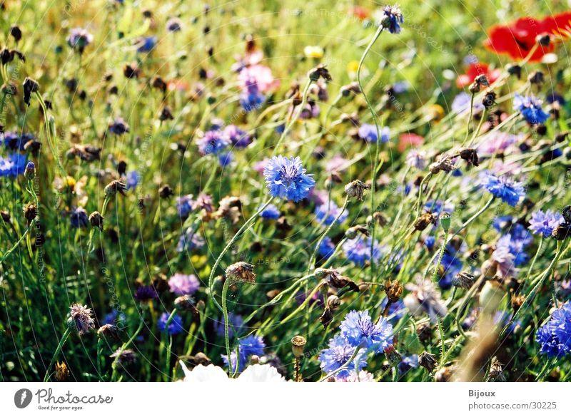 Flower Blue Summer Meadow Field Sweden Cornflower
