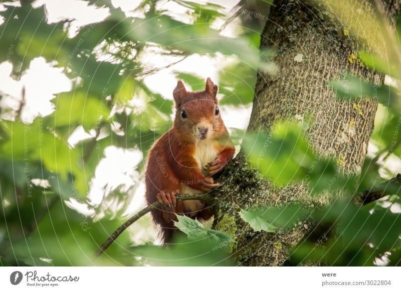 European brown squirrel in summer coat Nature Animal Wild animal Squirrel 1 Brash Soft Brown branch branches copy space cuddly cuddly soft cute