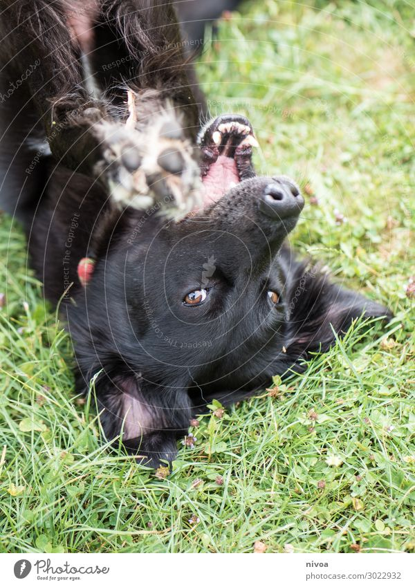 black dog lies on his back Joy Leisure and hobbies Playing Garden Nature Beautiful weather Grass Park Meadow Animal Pet Dog Animal face Pelt Claw Paw 1 Toys