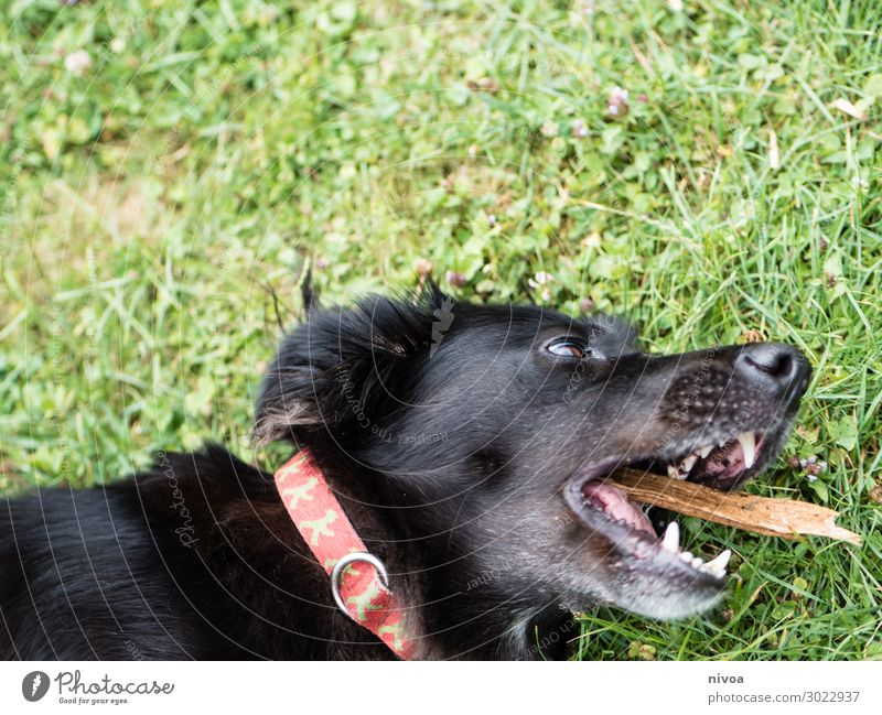 black dog plays with stick Summer Grass Garden Dog collar Stick Animal Pet Animal face 1 Catch Lie Playing Happiness Cute Black Joy Happy Contentment