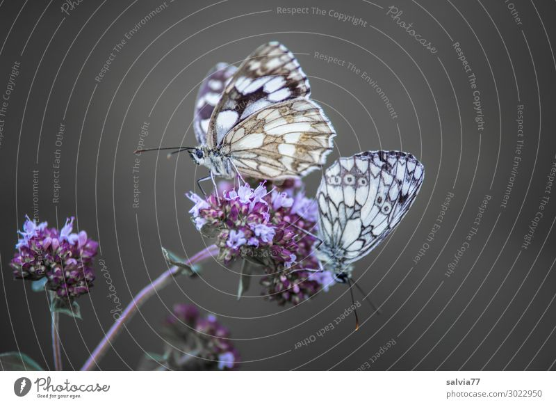 Pair of chess boards Environment Nature Summer Plant Flower Blossom Animal Butterfly Wing Insect Chessboard 2 Fragrance Pair of animals Colour photo