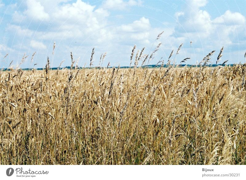 Wheat in the wind Field Agriculture Nutrition Clouds Nature Food Wind Grain