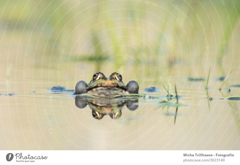 Frog in water Nature Animal Water Sunlight Beautiful weather Pond Lake Wild animal Animal face Water frog Eyes Muzzle sound bubbles pelophylax 1 Observe