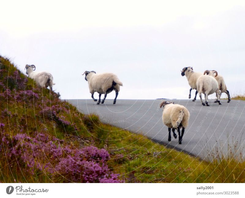 On the road again... Scotland Street Lanes & trails Farm animal Sheep Flock Group of animals Herd Running Walking Free Together Joie de vivre (Vitality)