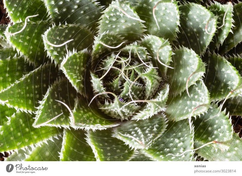 succulent Living or residing Decoration Plant Cactus Pot plant Houseplant Succulent plants Thorny Green White Colour photo Studio shot Close-up Detail Deserted