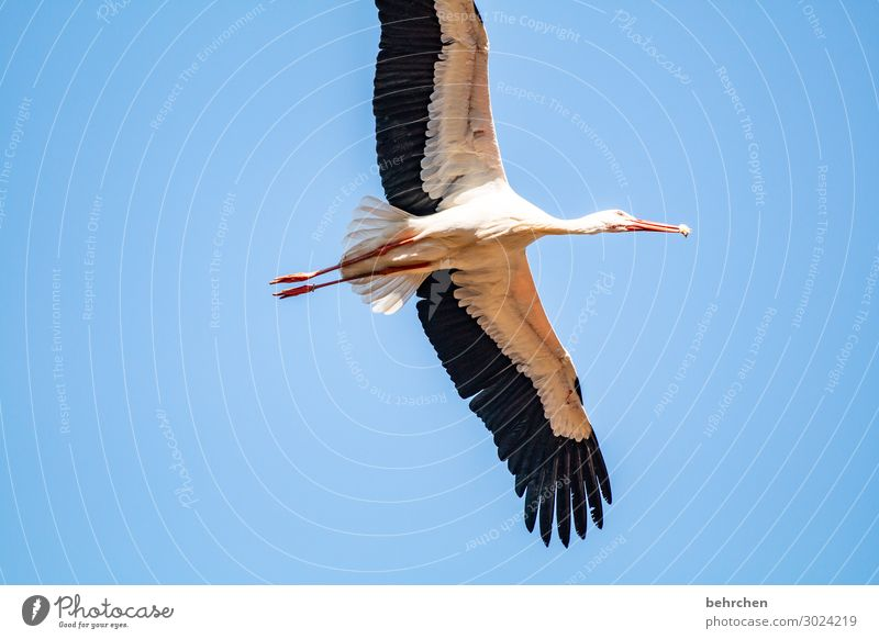 lifted off   for food intake Nature Sky Wild animal Bird Wing Stork Feather Beak Chick Flying To feed Exceptional Fantastic Free Tall Beautiful Blue Freedom