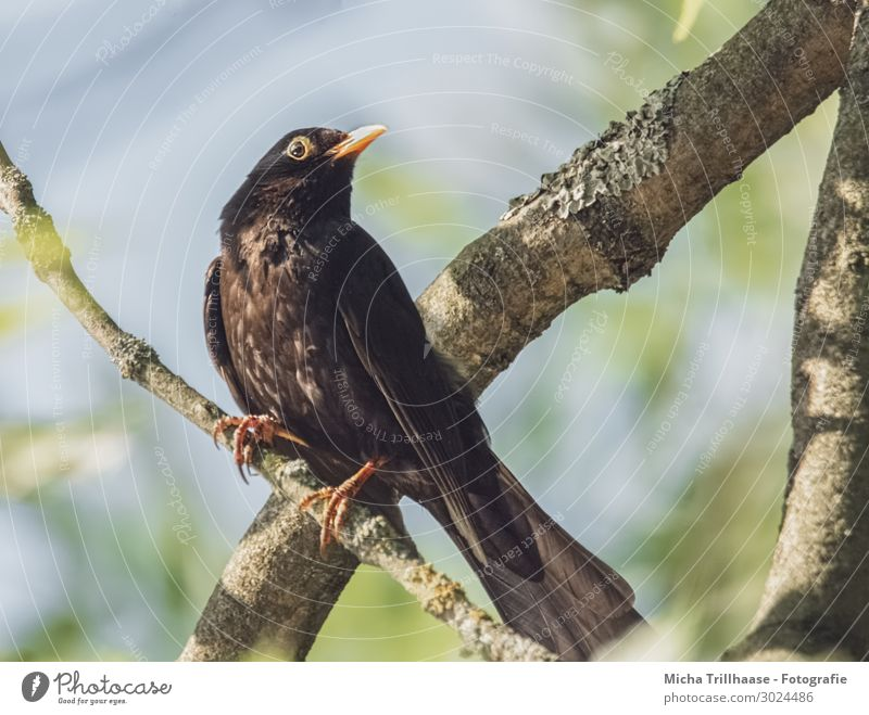 Blackbird in a tree Nature Animal Sky Sunlight Beautiful weather Tree Twigs and branches Wild animal Bird Animal face Wing Claw Head Beak Eyes Feather Plumed 1