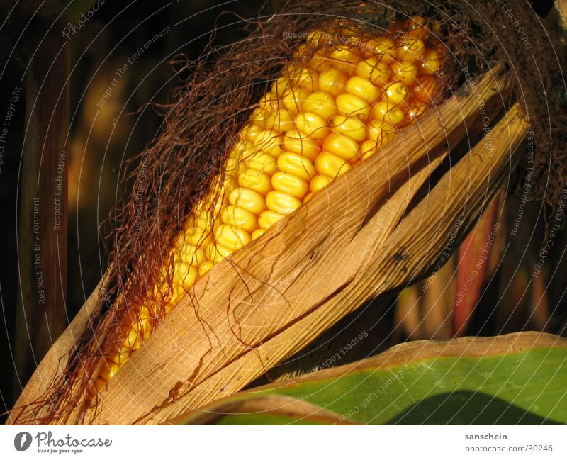 maize Corn cob Autumn Evening sun Yellow Agriculture Feed Maize sugar maize corn Sun Harvest Gold