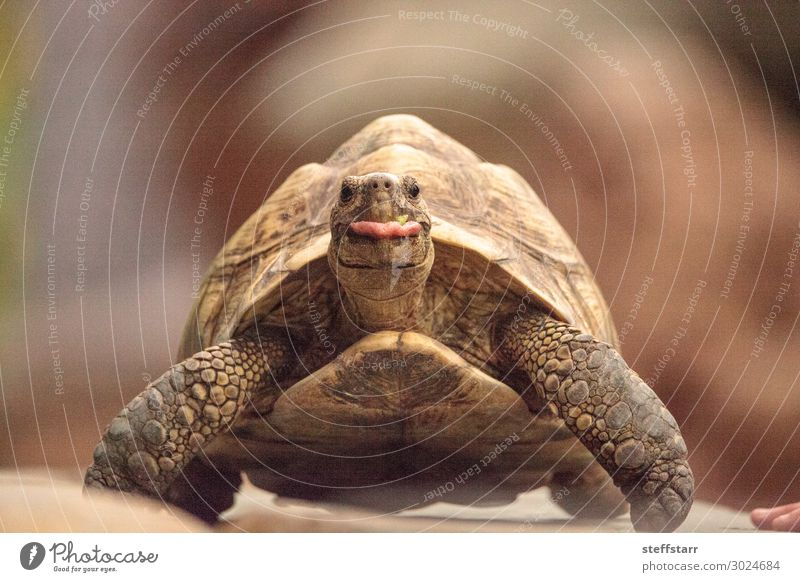 Funny Indian star tortoise Geochelone elegans Nature Animal Pet Wild animal Animal face 1 Brown Tongue out Humor Tortoise start tortoise Reptiles Shell slow