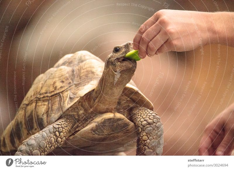 Indian star tortoise Geochelone elegans is a threatened species Eating Nature Animal Pet Wild animal Animal face 1 Feeding Brown Tortoise start tortoise