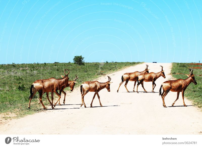 on the road again | road crossing Vacation & Travel Tourism Trip Adventure Far-off places Freedom Safari Wild animal Animal face Pelt Antelope hartebeest Herd
