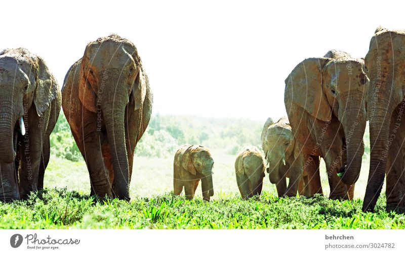 family trip Vacation & Travel Tourism Trip Adventure Far-off places Freedom Safari Wild animal Animal face Elephant Herd Baby animal Animal family Exceptional