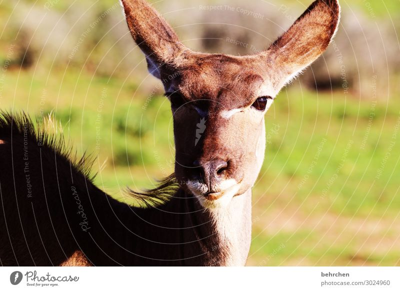 beautiful female kudu South Africa addo Safari Animal Wild animal Vacation & Travel Animal portrait Adventure Tourism Nature Freedom Animal face Far-off places