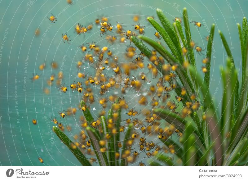 Spiders offspring Nature Plant Drops of water Summer Leaf Rosemary Garden Garden cross spider Cross spider spider babies Group of animals Movement Crawl Small