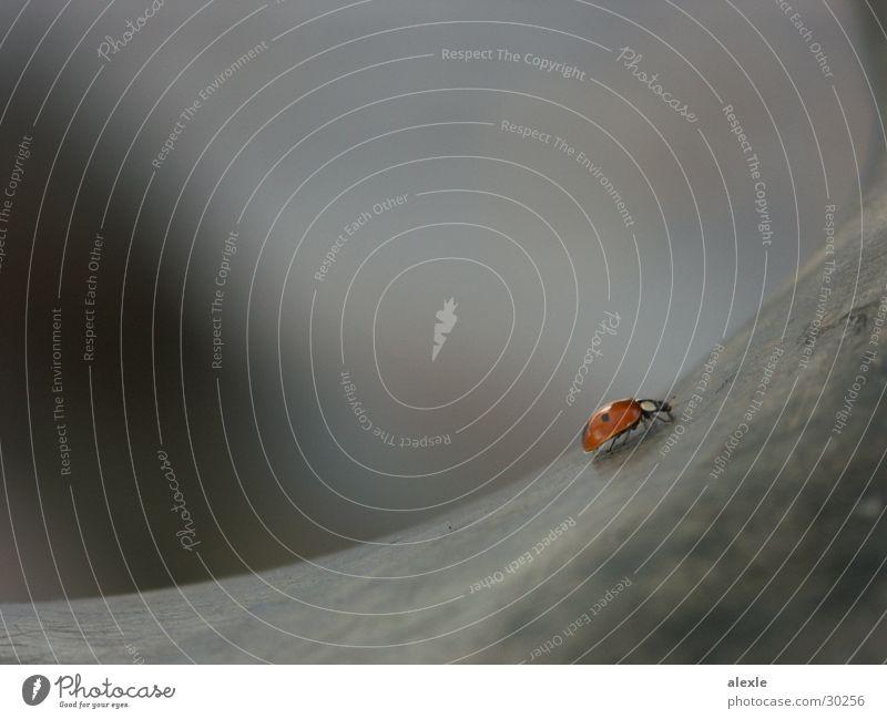 beetles on wanderings I Ladybird Blur Monument Gray Transport Beetle Macro (Extreme close-up)