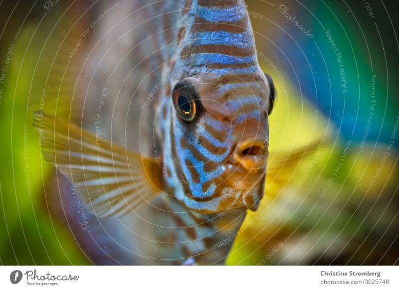 A discus called Dodo Leisure and hobbies Living or residing Water River Amazonas Animal Pet Fish Aquarium Discus fish Cichlids 1 Looking Swimming & Bathing