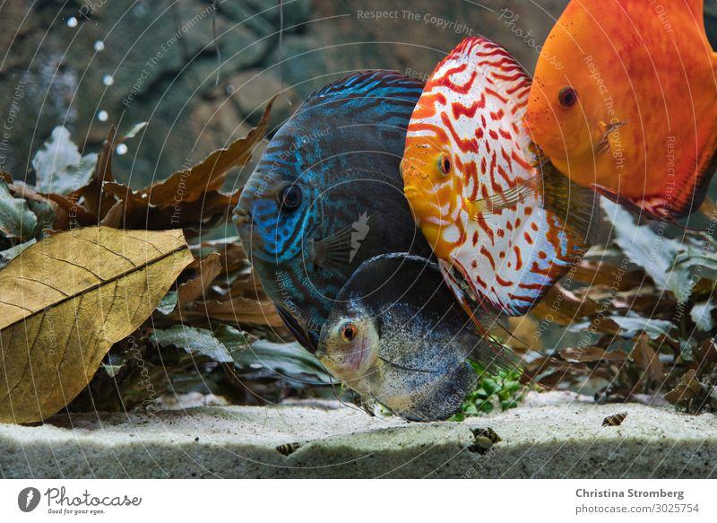 The gang Water Animal Pet Fish Scales Aquarium Discus fish Cichlids Perches 4 Group of animals Sand Observe Looking Swimming & Bathing Cool (slang) Maritime Wet